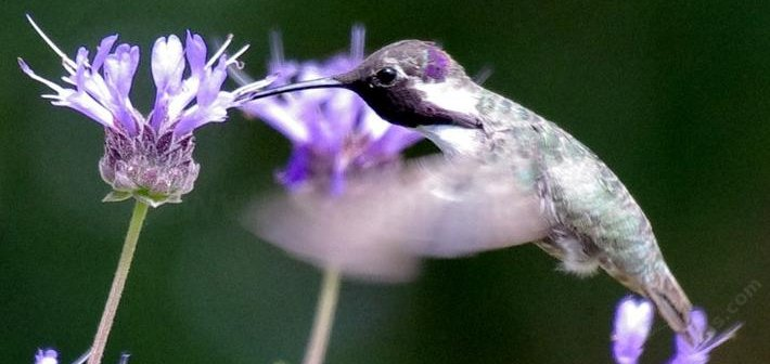 Costa Hummingbird on a Saliva clevelandii Alpine. Native plants support native birds and butterflies.