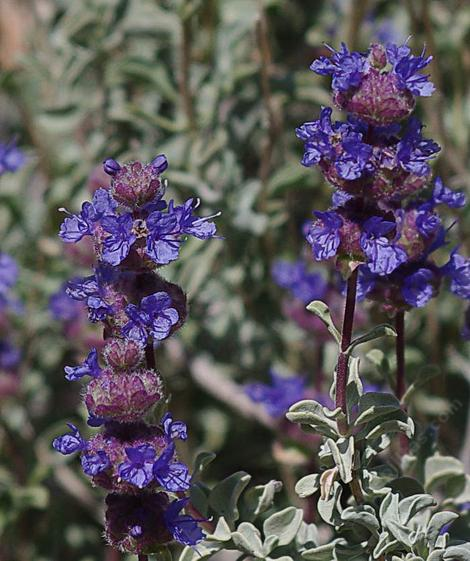 Salvia dorrii, Desert sage or Purple Sage flowers.