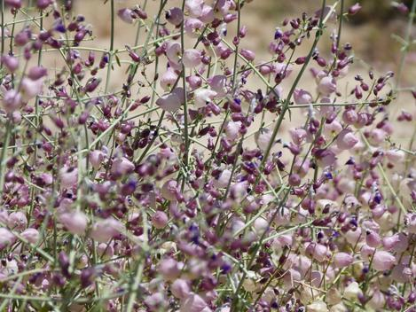 Salazaria mexicana Bladder-Sage  - grid24_12