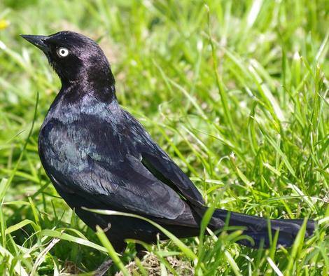 A brewer's Blackbird in Buena Vista park San Francisco. (Haight Ashbury) - grid24_12