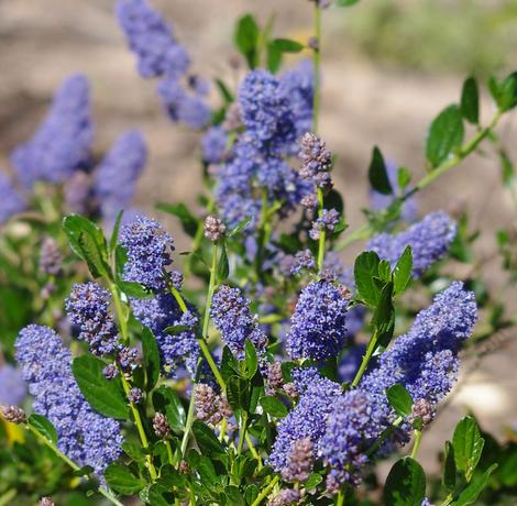 Ceanothus Skylark is really green with blue flowers and will grow throughout most of California. Skylark makes a nice little native hedge or border planting.