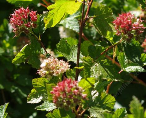 Physocarpus capitatus Ninebark,seed pods are bright red - grid24_12
