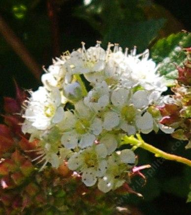 Physocarpus capitatus Ninebark, flowers are white