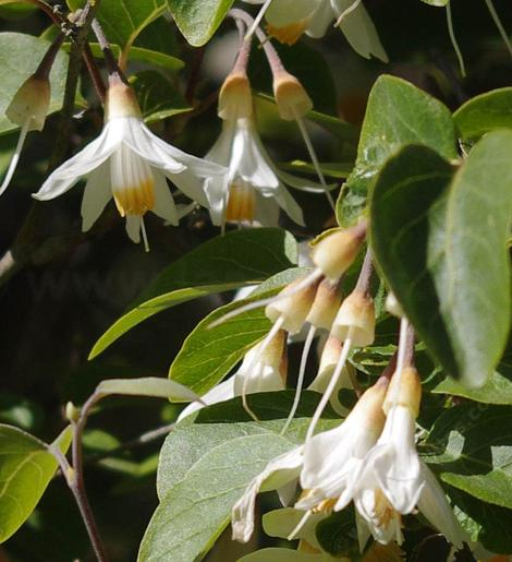 Styrax officinalis californica Snowdrop Bush's flower