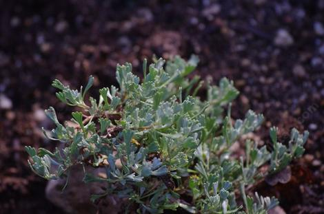 Black Sagebrush (Artemisia nova) is a very small little sage. They are making a  germacranolide out of it.