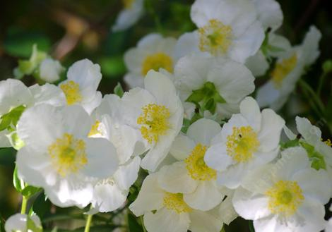 Bush Anemone,  Carpenteria californica is a nice clean bush that explodes into flower. Try this plant in a container or large pot if you have a deck or patio. - grid24_12