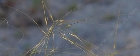 Stipa comata is also known as Hesperostipa comata - grid24_12