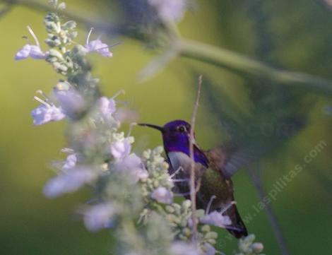 A Costa hummingbird on a compact white sage. - grid24_12