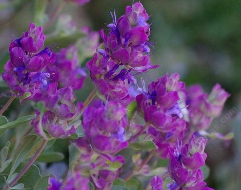 Salvia pachyphylla - blue sage, Rose Sage, thick leaved sage, Giant-flowered purple sage, Mountain Desert sage,. The flowers are not that giant, it's the purple bracts that are glorious. California sages are amazing. - grid24_12