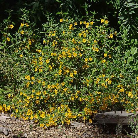 This Monkey flower came from a site that is now cover with houses. It's about 15 years old in this picture, with no water. - grid24_12