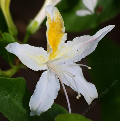 Western Azalea flower, this one was in our back yard. - grid24_12