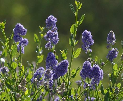 Ceanothus Skylark has fragrant blue flowers! - grid24_12