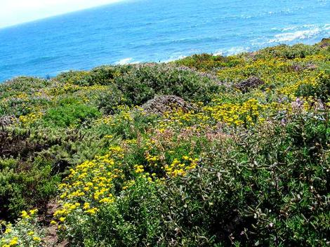 A planted coastal bluff. This was a native restoration  that had been a cow pasture. - grid24_12