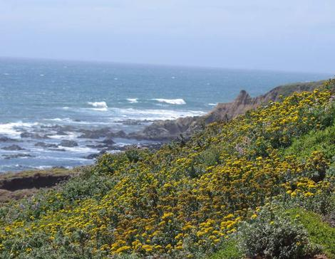 A unwatered coastal bluff in June. The Yellow is Eriophyllum staechadifolium artemisiaefolium. - grid24_12