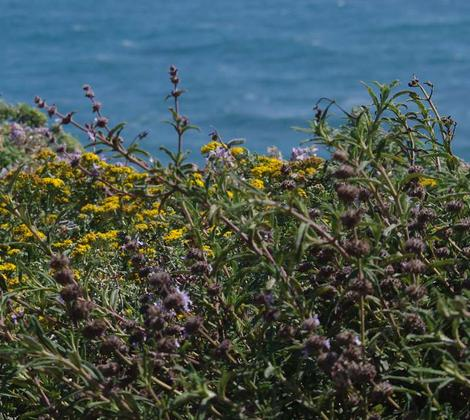 Here is Salvia mellifera repens on a coastal bluff. - grid24_12