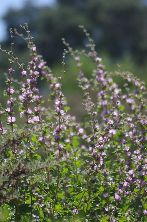 This bush mallow is native to South California and does well in Los Angeles and San Diego. - grid24_12