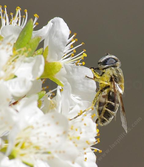 Syrphid fly on an asian pear. - grid24_12