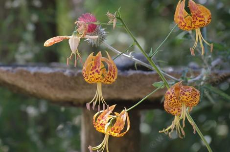 Even though these Humboldt Lilies were next to the bird bath, they we far enough away to be dry.