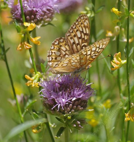 Monardella antonia with Fritilary Butterfly - grid24_12
