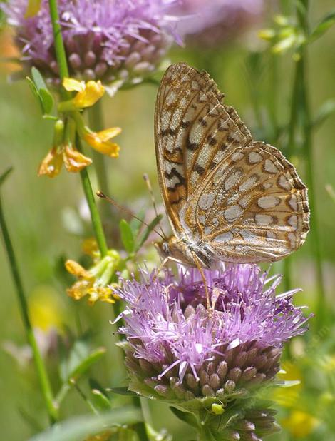 A Callippe Fritillary Butterfly, Speyeria callippe on a Monardella antonina - grid24_12