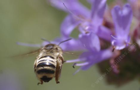 Melissodes-bee on a Salvia Alpine. - grid24_12