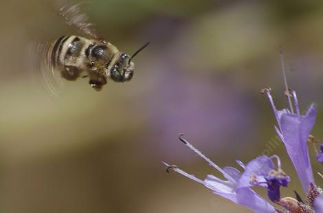 Long Horned Bee hovvering - grid24_12