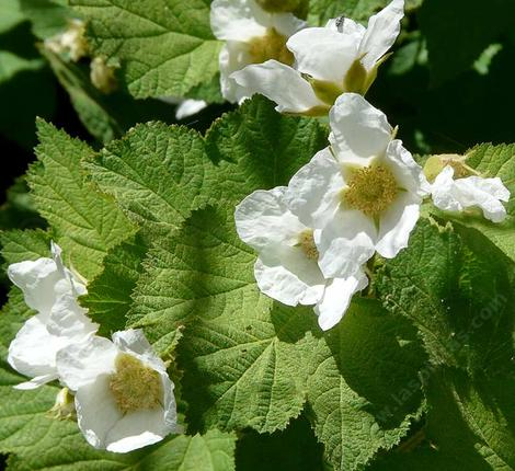 What a nice looking plant. nThimbleberry makes a mini-thicket where there is moisture and cool sun to part-shade. - grid24_12
