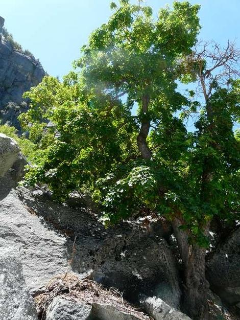 A Mountain maple, Rocky Mountain maple tree in the Southern Sierras.