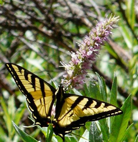 Horse Mint with a Tiger Swallowtail, no horse required - grid24_12