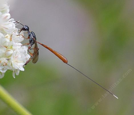 A female gasteruption wasp, prey on Mason Bees - grid24_12
