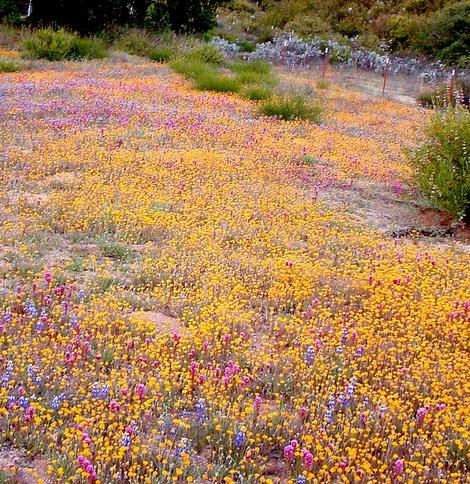 If the weeds are not there, California is amazing! When an annual native plant is done flowering it almost disappears and is nearly fire proof. Large areas of California used to look like this in spring. Can you imagine what inner Los Angeles could look like if it was still natural? - grid24_12