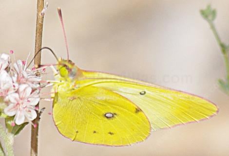 Colias harfordii, Harford's Sulphur on a California Buckwheat - grid24_12