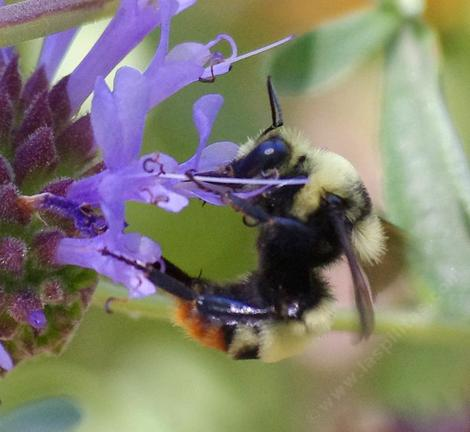 Bombus crotchii, Crotchety Orange Rumped Bumblebee. It flew off when it saw me. - grid24_12