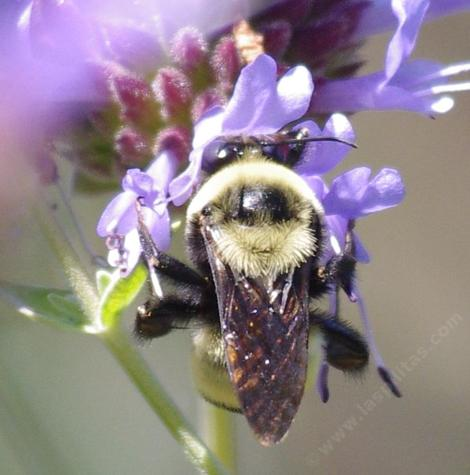 Bombus crotchii, Orange Rump Bumblebee on a Salvia clevelandii flower (from behind) - grid24_12