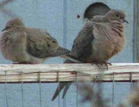 Mourning Doves - grid24_12