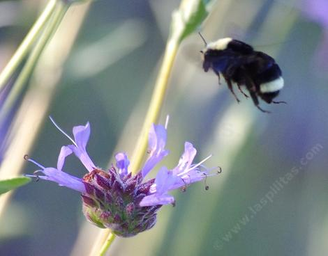 Bombus vosnesenskii visiting a Salvia Alpine flower in the Santa Margarita native garden. - grid24_12