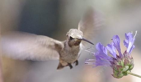 This young Anna Hummingbird was working every flower of the Salvia Winifred Gilman - grid24_12