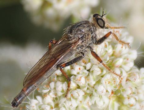 A Robber Fly, Stenopogoninae is a rather ruthless predator. Most small flies, bees and other insects are nothing but lunch. - grid24_12