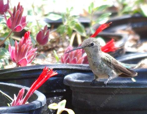 Monardella macrantha, Red monardella in the nursery with an Anna Hummingbird  resting next to lunch. - grid24_12