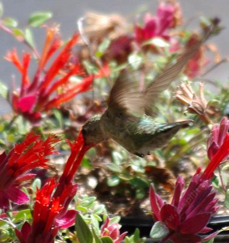 This little Hummingbird is working the Red Monardella at very low altitude. - grid24_12
