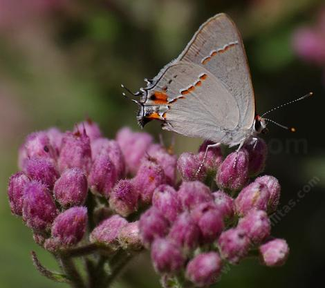 Salt Marsh Fleabane with a Gray hairstreak, Strymon melinus