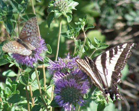 Here a fritillary, and a pale swallowtail, that are sharing a plant of Monardella subglabra, Mint Bush, a fragrant subshrub. - grid24_12