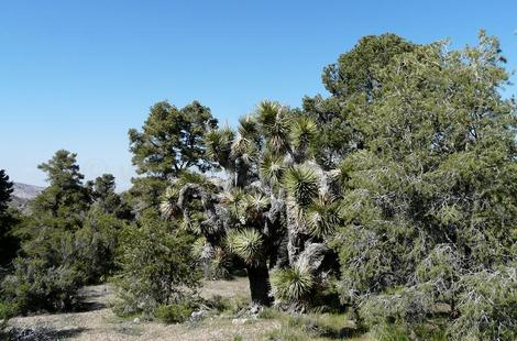 This is an area north of Big Bear where the Joshua tree woodland and Pinyon Juniper Woodland meet. Pinus monophylla,    Juniperus californica and Yucca breviflora. - grid24_12