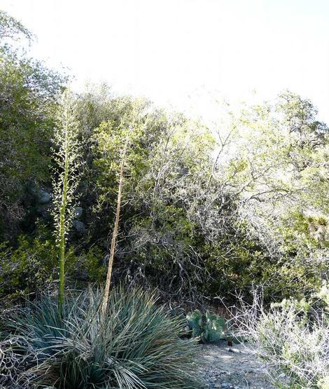 Yucca whipplei caespitosa is a narrow leaf yucca from the desert edges.