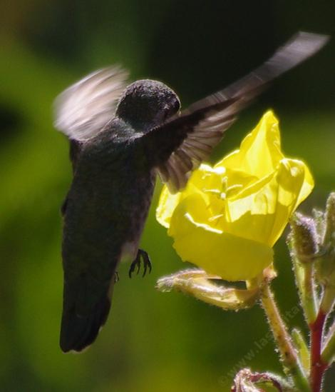 The hummingbirds were really working the Evening Primrose flowers in the heat of summer. - grid24_12