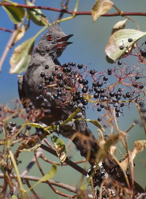 A female Phainopepla nitens eating Sambucus mexicana berries. - grid24_12