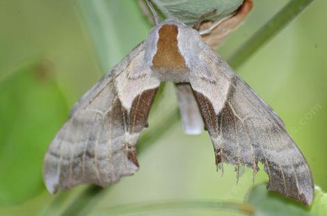 Smerinthus cerisyi, One-eyed sphinx moth