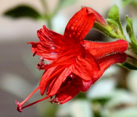 A Zauschneria septentrionalis,(Epilobium sept.) Mattole California fuchsia works well in container, large pot or small entry garden. - grid24_12