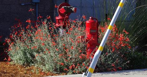 This California fuchsia is a fire red thing with red Bert's Bluff flowers. Native plants are amazing! Naturally! This planting was in San Luis Obispo in heavy adobe soil. - grid24_12