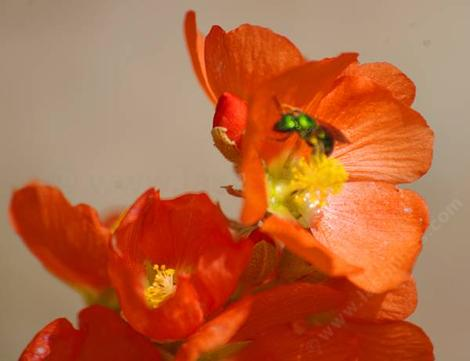 Munro's Globemallow flower - grid24_12